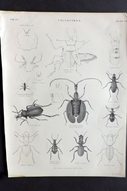 Encyclopaedia Britannica 1879 Antique Print. Coleoptera Insects, Beetles
